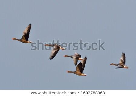gansos · vuelo · vuelo · aves · oro · silueta - foto stock © mobi68