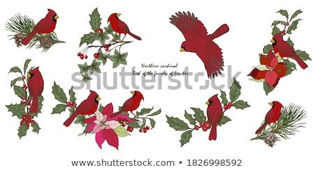 cardinal bird stock photo © macropixel