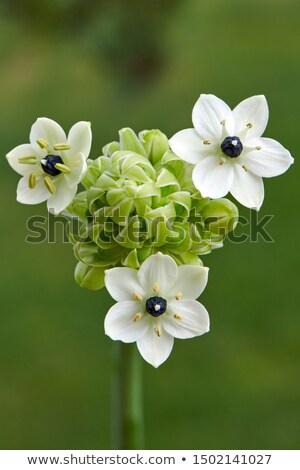 Star of Bethlehem flower (Ornithogalum arabicum) Stock photo © haraldmuc