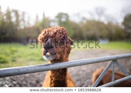 llama showing its teeht stock photo © taviphoto