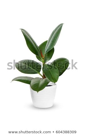 seedling green plant on a white background stock photo © ozaiachin