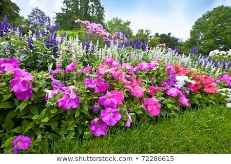 pretty manicured flower garden with colorful azaleas stock photo © ozaiachin