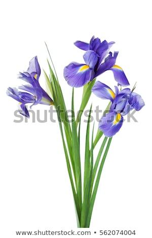 флаг · Iris · красивой · желтый · цветок · природы - Сток-фото © brm1949