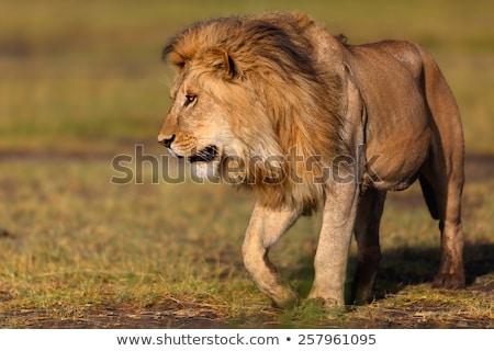 женщины лев ходьбе Танзания красный почвы Сток-фото © photocreo