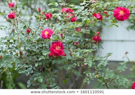 Henry Kelsey Rose in Bloom stock photo © bigjohn36