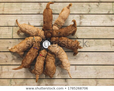 labradoodle pups feeding stock photo © gordo25