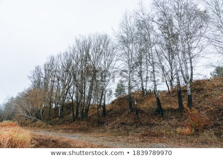 Autumn poplar trees without leaves on a dried grass  Stock photo © lunamarina
