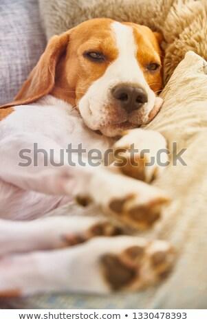 Cansado bigle macro tiro sonolento cães Foto stock © ArenaCreative