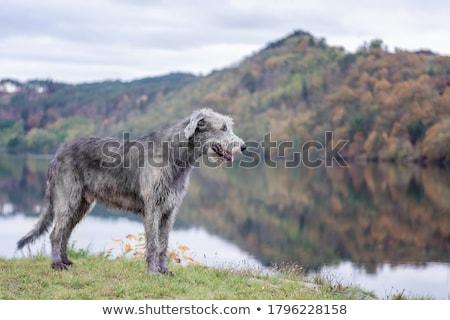 irlandés · perro · grande · aire · libre - foto stock © silense
