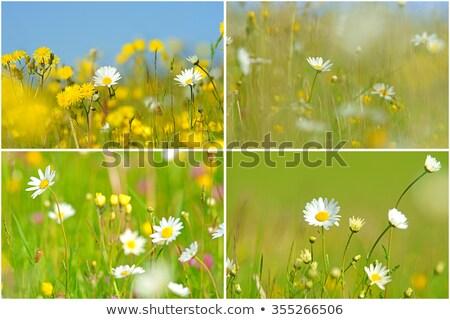 wild oxeye daisy chrysanthemum leucanthemum stock photo © tainasohlman