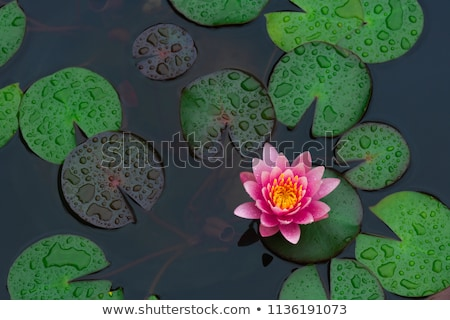 beautiful pink lotus water plant in a pond stock photo © meinzahn