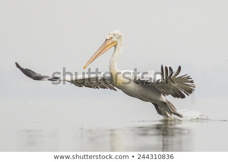 Dalmatian Pelican fishing in the water Stock photo © CaptureLight