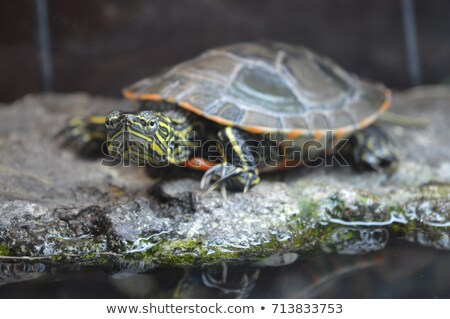 Painted Turtles on a rock Stock photo © pictureguy