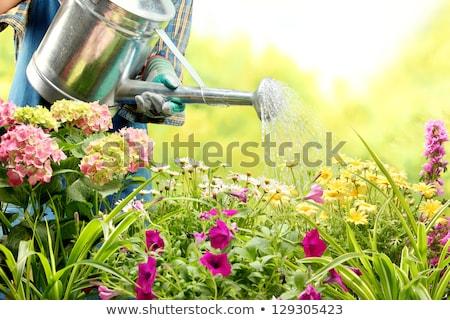 Nő locsol virágok kert virág szépség Stock fotó © deandrobot