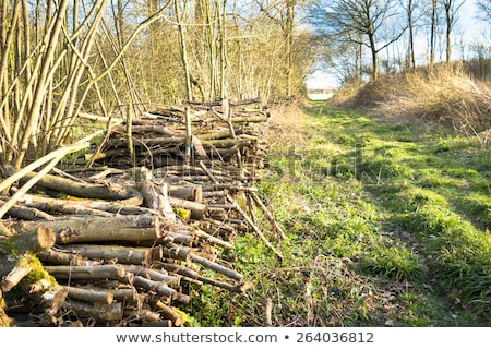 Felled stacked tree trunks in woodland Stock photo © stryjek