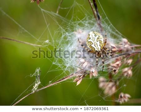 Arana web pradera insectos tela de arana naturales Foto stock © phbcz