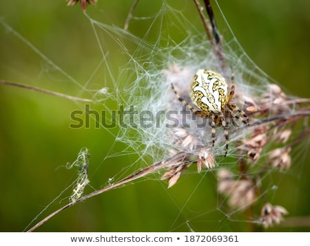 Spin web weide insect spinnenweb natuurlijke Stockfoto © phbcz