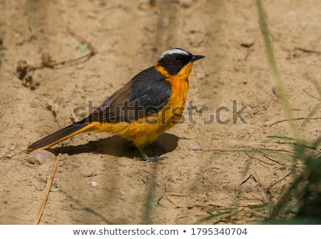 Snowy crowned robin chat Stock photo © chris2766