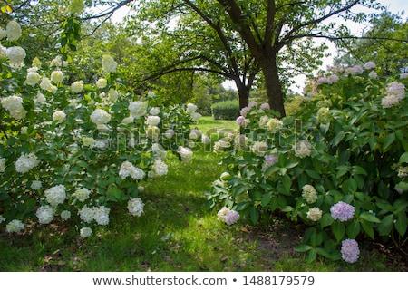 Beautiful hydrangea bush in the garden Stock photo © mcherevan