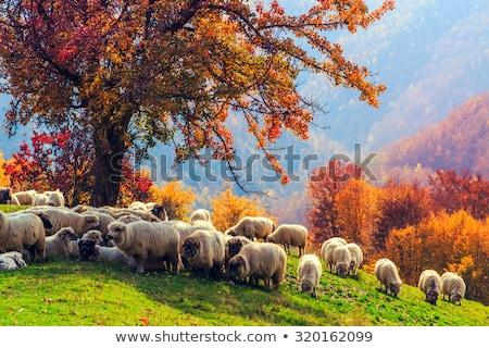 Sheep under the tree in Transylvania Stock photo © Fesus