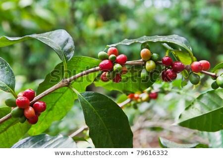Kávé növények nő trópusi sziget gazdálkodás ültetvény Stock fotó © cboswell