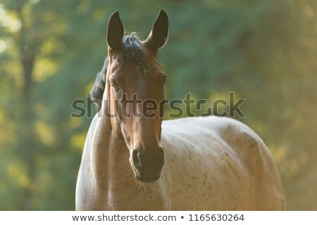 ló · fej · reggel · napfény · közelkép · lovak - stock fotó © lincolnrogers