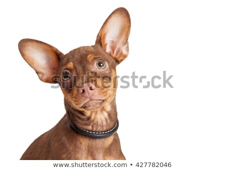 Pinscher looking up in a white studio Stock photo © vauvau