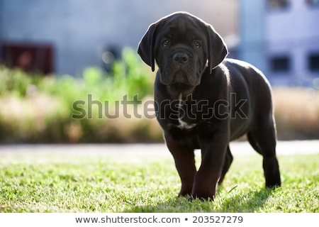 Stock photo: Studio shot of an adorable Cane corso