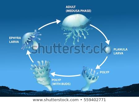 Diagram mutat élet bicikli meduza illusztráció Stock fotó © bluering