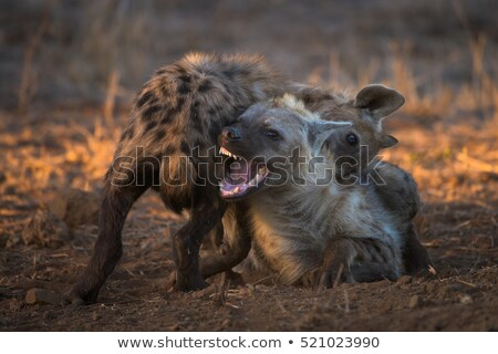 Playful Spotted hyena in the Kruger National Park, South Africa. Stock photo © simoneeman