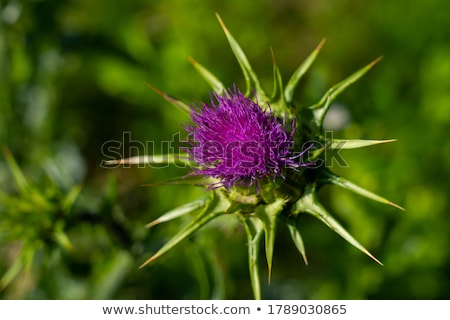 Milk Thistle in full bloom growing in the garden Stock photo © Klinker