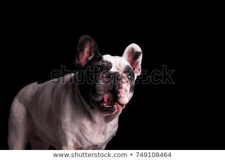 boldog · kutyafajta · francia · bulldog · fut · körül - stock fotó © feedough