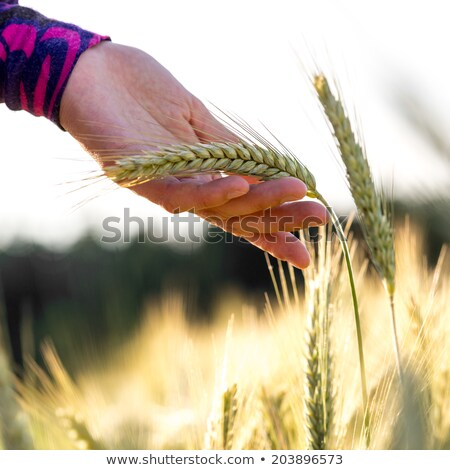 Stock fotó: Kéz · női · búzamező · gazda · megvizsgál · gabonapehely