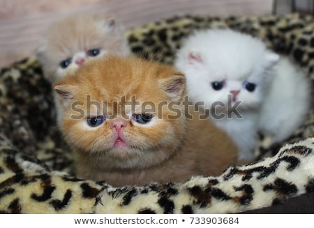 Photo stock: Exotique · shorthair · chaton · blanche · chat · groupe