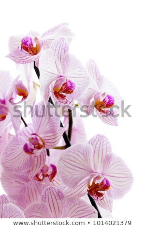Pink Phalaenopsis Orchid flowers stock photo © Melnyk