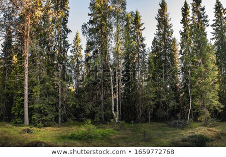 Nyírfa fák perem ködös legelő tavasz Stock fotó © craig