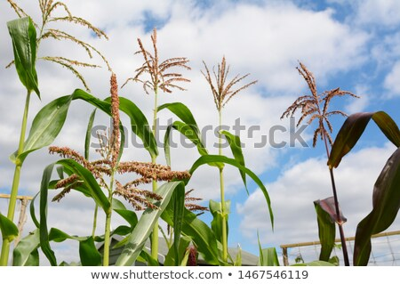Pollen on a sweetcorn tassel with taller maize plants beyond Stock photo © sarahdoow