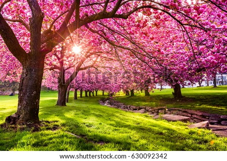 Cherry tree in blooming Stock photo © Alex9500
