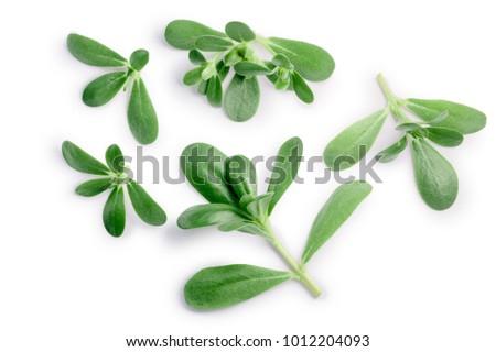 Purslane Portulaca oleracea, paths, top Stock photo © maxsol7