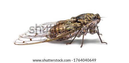 Cicada Stock photo © bluering