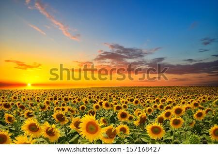 Campo girassóis céu verão verde Foto stock © njnightsky