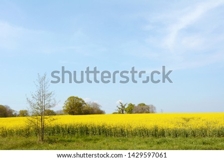 Inglês fazenda campo completo brilhante amarelo Foto stock © sarahdoow