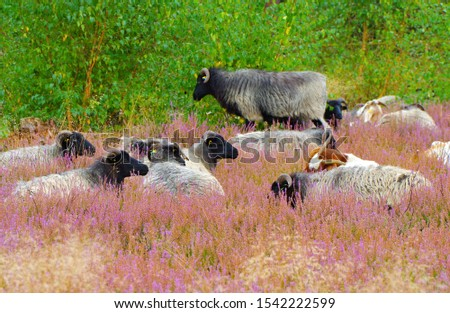 German Grey Heath in the Lueneburg Heath Stock photo © LianeM