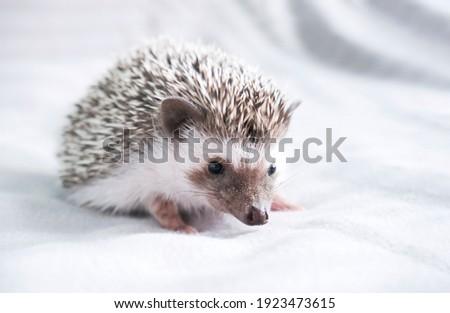 Stock photo: African Hedgehog in the dark photo studio