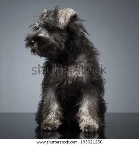 cachorro · schnauzer · estúdio · tabela · beleza · engraçado - foto stock © vauvau