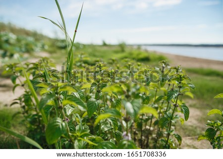 Wild river mint Stock photo © AGfoto