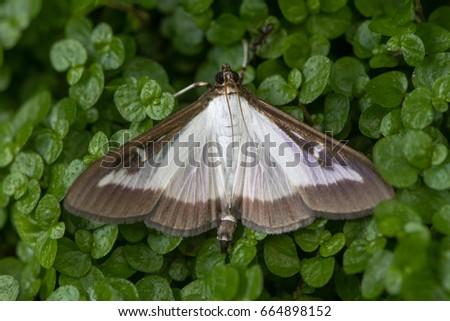 Box Tree Moth Stock photo © manfredxy