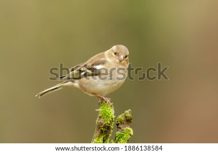 common chaffinch in forest Stock photo © ivonnewierink