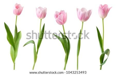 Różowy tulipany Fotografia kwiat wiosną Zdjęcia stock © illustrart
