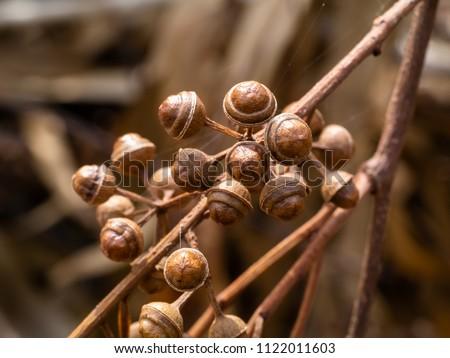 Eucalyptus seeds with plant material Stock photo © ziprashantzi